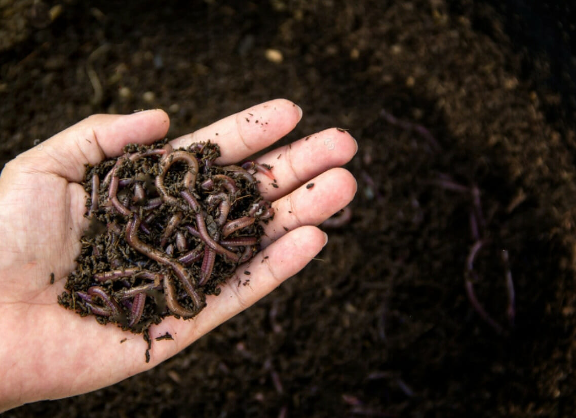 How To Identify Red Wigglers Worms? | All About Red Worms
